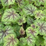Heucherella 'Glacier Falls' - Photo copy