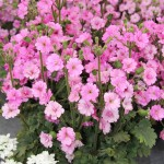 <strong>Ooh La La</strong><br />'Ooh La La Rose' primula from Cultivaris