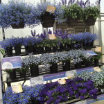 <strong>Feeling Blue?</strong><br />Syngenta Flowers is testing different POP programs to help promote in-store sales