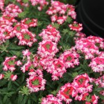 <strong>A Hot Pink Hurricane</strong><br />Verbena 'Hurricane Hot Pink Hurricane' from Westflowers
