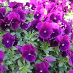 <strong>A New Cool Wave Pansy</strong><br />Pan American Seed's  'Cool Wave Purple' spreading pansy