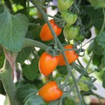 <strong>A Dreamy Tomato</strong><br />Vegetalis' 'Apricot Dream' tomato