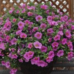 Calibrachoa-Million-Bells-Bouquet-Pink-copy.JPG