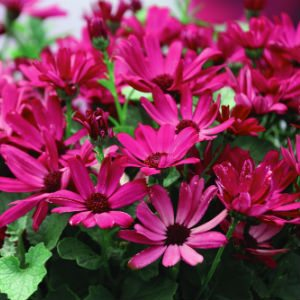 pericallis-senetti-ruby-red