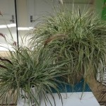 <strong>'Sky Rocket' Pennisetum</strong><br />One of the Graceful Grasses from Proven Winners