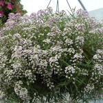 <strong>&#8216;Blushing Princess&#8217; Lobularia</strong><br />From Proven Winners