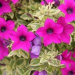 <strong>Check Out the Foliage</strong><br />'Surfinia Variegated Baby Purple' from Suntory