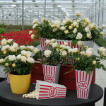 <strong>A Tasty Treat…</strong><br />'Popcorn Drift' roses from Conard Pyle at Greenheart Farms