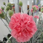 <strong>A Bubbly New Intro</strong><br />Dianthus 'Pink Fizz' from Plant Haven