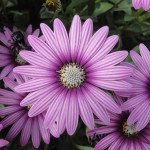 <strong>This One&#8217;s a Real Eye Catcher</strong><br />Cape Daisy Eye Catcher Purple osteospermum from Sakata