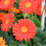 <strong>Gorgeous Gerbera</strong><br />'Drakensberg Daisy Flame' from Cultivaris