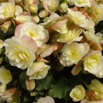 <strong>Glorious Begonia</strong><br />'Glory Lemon' from Beekenkamp