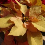 <strong>'Autumn Leaves'</strong><br />The newest Ecke poinsettia on display at Dümmen