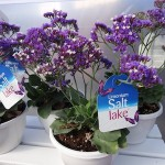 <strong>Lovely Limonium</strong><br />Salt Lake limonium from Royal Van Zanten