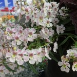 <strong>Neat as a Pin</strong><br />'Pinstripe Pink' angelonia from Hort Couture