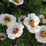 <strong>Frost & Fire</strong><br />Superbells Frostfire calibrachoa from Proven Winners