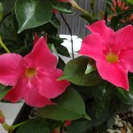 <strong>'Bella Pink'</strong><br />New mandevilla from Cultivaris