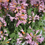 <strong>'Arizona Sunset'</strong><br />Agastache from American Takii