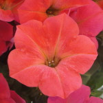 <strong>One Hot Petunia</strong><br />Hells Fruit Punch petunia from Westflowers