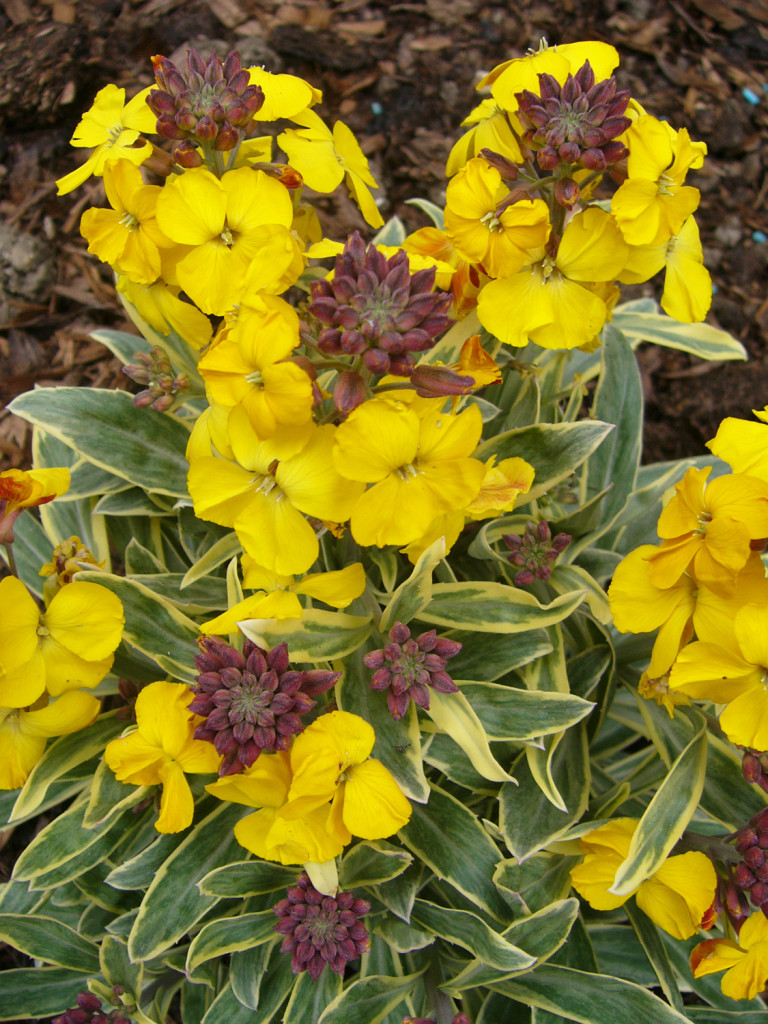 Perennial Solutions Erysimum Fragrant Star Greenhouse Product News