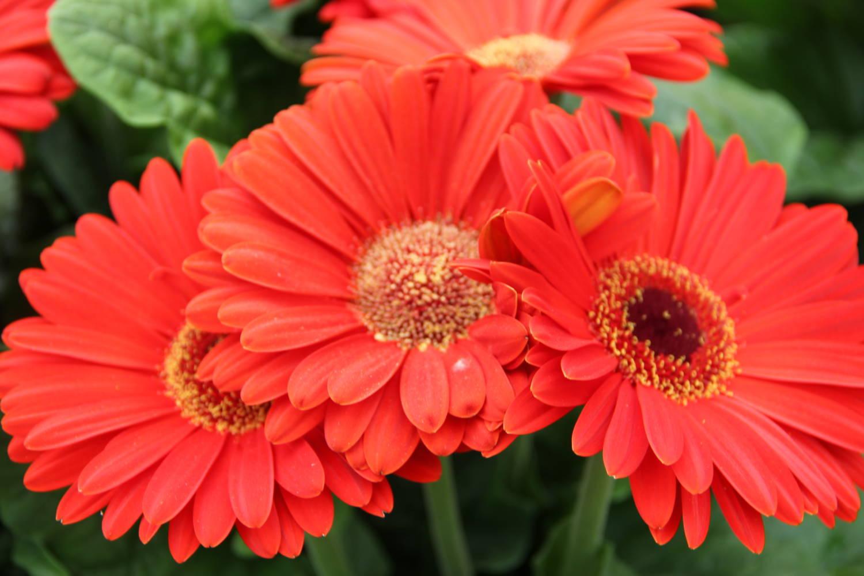Crop Culture Report Gerbera Bengal Series Greenhouse Product News