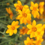 <strong>&#8216;Golden Jingle&#8217;</strong><br />'Golden Jingle' bidens from Danziger