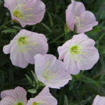 <strong>Rising Sun</strong><br />African Sun oenothera from Jaldety Nursery