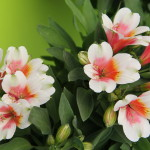 <strong>As Luck Would Have It</strong><br />'Inca Lucky' alstroemeria from Flamingo Holland