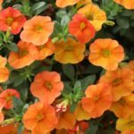 <strong>Life is a Cabaret</strong><br />Ball FloraPlant's 'Cabaret Orange' calibrachoa