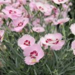 <strong>Angelic Dianthus</strong><br />'Angel of Peace' dianthus from KiwiFlora