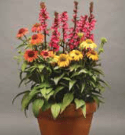 Perennial Solutions Lobelia Starship Series Greenhouse Product News