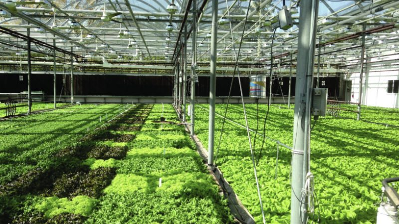 Growing Hydroponic Leafy Greens Greenhouse Product News