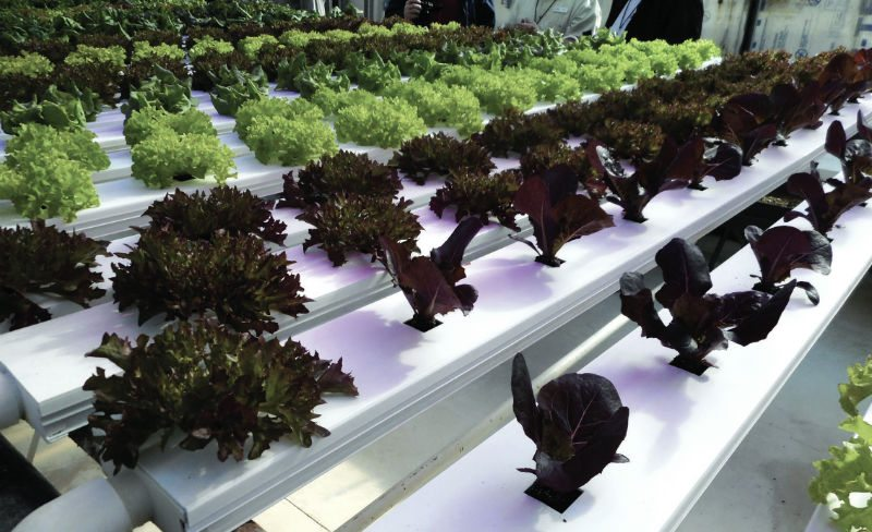 Growing Hydroponic Leafy Greens - Greenhouse Product News