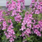<strong>'Alonia Pink Flirt' angelonia from Danziger</strong><br />