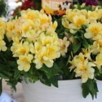 <strong>'Inticancha Cabana' alstroemeria from Dümmen Orange</strong><br />