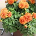 <strong>'Midalio Orange' dahlia from Syngenta Flowers</strong><br />
