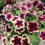 <strong>'Crazytunia French Kiss' petunia from Westhoff</strong><br />