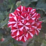 <strong>&#8216;Samira Deep Red Star&#8217; verbena from Volmary/Benary+</strong><br />