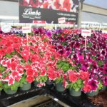 <strong>Limbo petunias from Hem Genetics</strong><br />