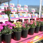 <strong>Dianthus on trial at Pacific Plug &#038; Liner</strong><br />