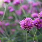<strong>Gomphrena &#8216;Truffula Pink&#8217; from Proven Winners</strong><br />