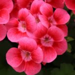 <strong>Syngenta&#8217;s geranium &#8216;Pretty Little Pink Splash&#8217;</strong><br />