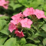 <strong>Phlox &#8216;Phlostar Salmon&#8217; from Danziger</strong><br />