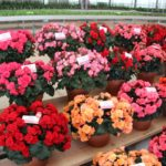 <strong>Dreams begonias from Beekenkamp Plants</strong><br />