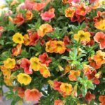 <strong>Westhoff&#8217;s calibrachoa &#8216;Chameleon Atomic Orange&#8217;</strong><br />