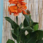 <strong>American Takii&#8217;s canna &#8216;South Pacific Orange&#8217;</strong><br />