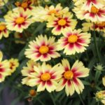 <strong>Experimental Leading Lady coreopsis at Dümmen Orange</strong><br />