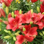 <strong>Experimental Easter/Asiatic lily hybrid by 2Plant</strong><br />