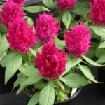 <strong>PanAmerican Seed&#8217;s celosia &#8216;First Flame Purple&#8217;</strong><br />