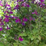 <strong>Salvia &#8216;Vibe Ignition Purple&#8217; by PlantHaven Inc</strong><br />